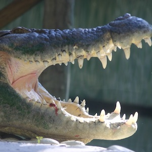 St. Augustine, Florida, zoo, alligator, travel, things to do, family, fun, kids, children, coupon, coupons, discount