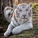 National Tiger Sanctuary in Missouri, zoo, travel, things to do, family, fun, kids, children, coupon