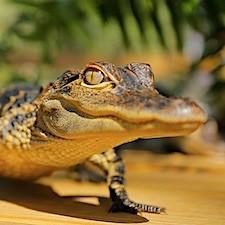 See real gators at this fun family gator farm in Wildwood, Florida - get coupon